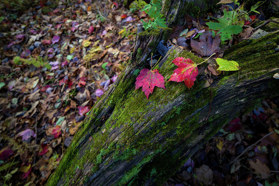 Fallen Leaves on the Limberlost Trail by Lori Coleman