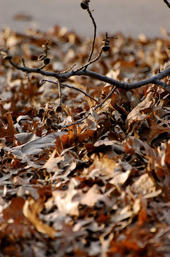 Leaves Photograph - Fallen Leaves by Tess Haun