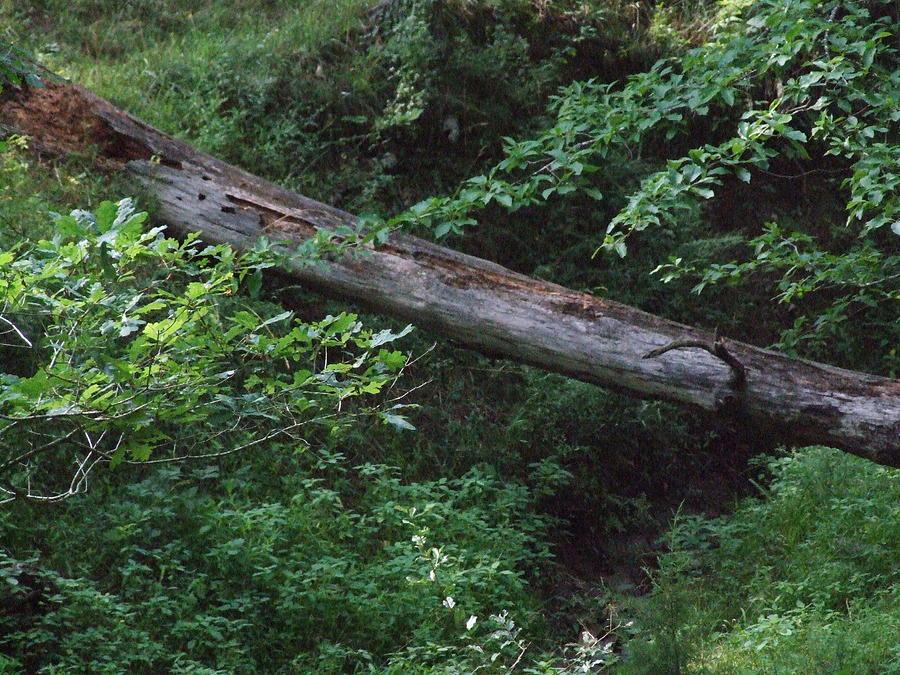 Woods Photograph - Fallen Log by Michael L Kimble
