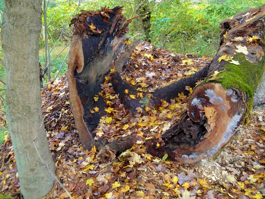 Leaves Photograph - Fallen Tree With Leaves And Moss by Terry  Wiley