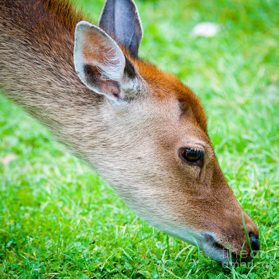 Fallow Photograph - Fallow Deer Grazing British Fallow Deer Grazing On Grass In The New Forest Dorset by Andy Smy