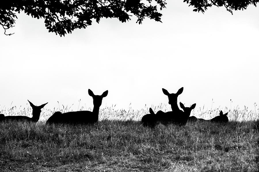 Deer Photograph - fallow Deer by Yorkshire In Colour