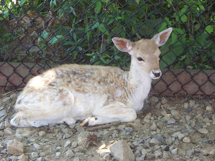Deer Photograph - Fallow Deer by Rosanne Bartlett