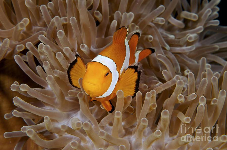 Anemone Photograph - False Clownfish by Steve Rosenberg - Printscapes