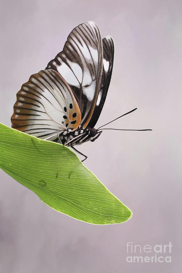 False Diadem Butterfly #2 V2 by Judy Whitton