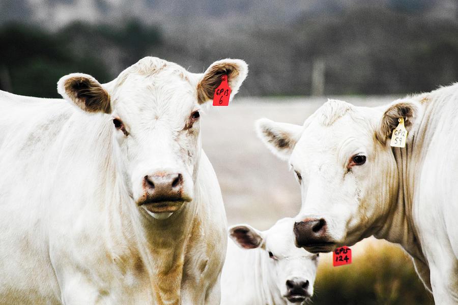 Family Cow Portrait 1 Photograph
