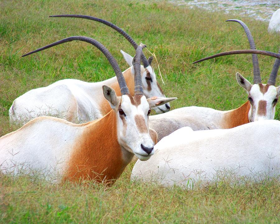 Antelope Photograph - Family Gathering by Jai Johnson