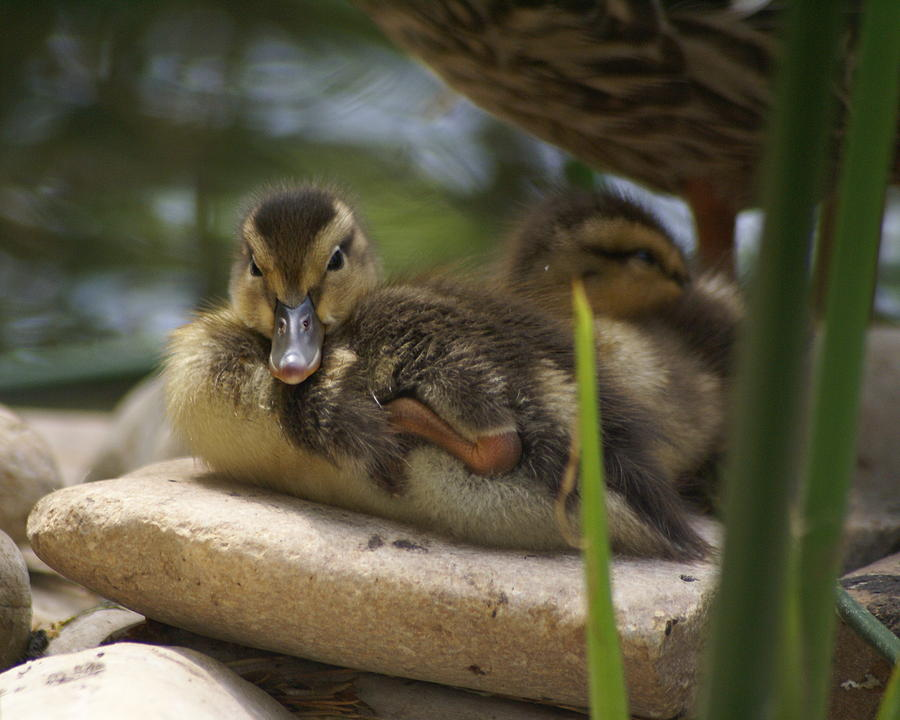 Ducks Photograph - Family In The Park by Sonja Anderson