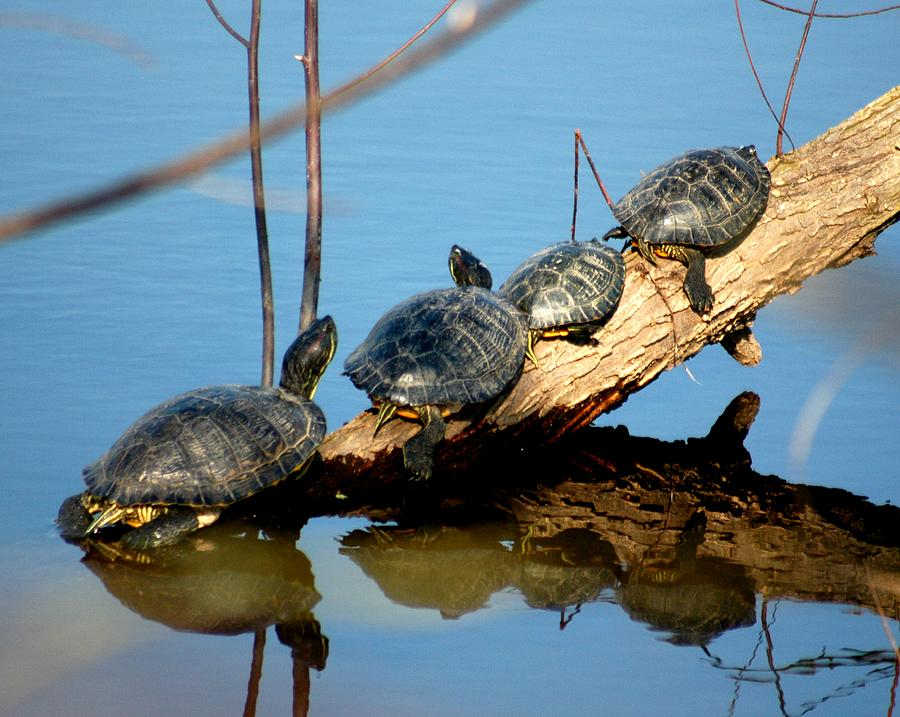 Turtles Photograph - Family Of Turtles by Bob Guthridge