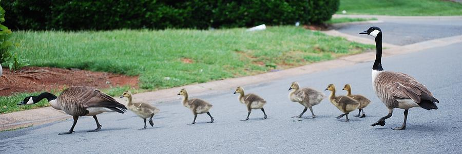 Canada Geese Photograph - Family Outing by Trudi Southerland