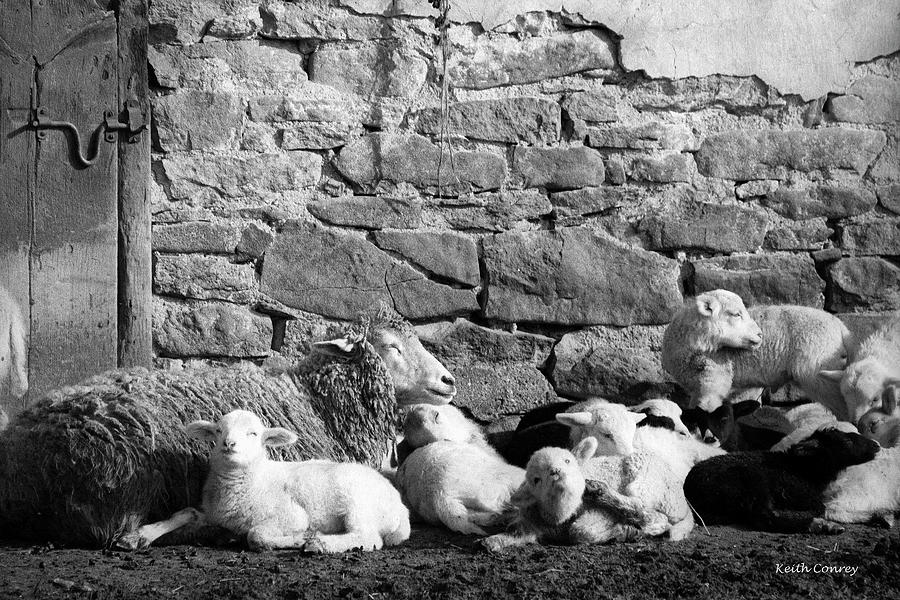 Sheep Photograph - Family Portrait by Keith Conrey