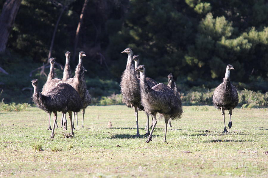 Emu Photograph - Family by Roo Printz
