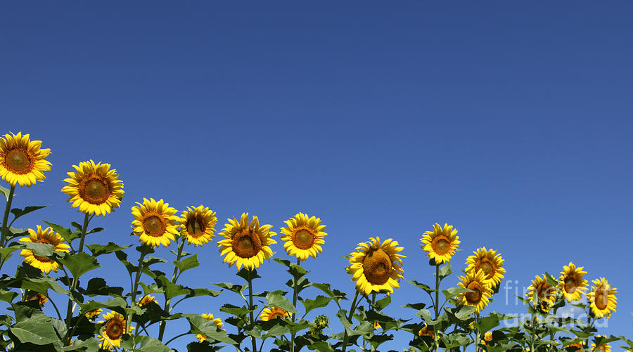 Sunflowers Photograph - Family Time by Amanda Barcon