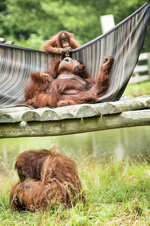 Orangutang Photograph - Family Time by Ed Tepper