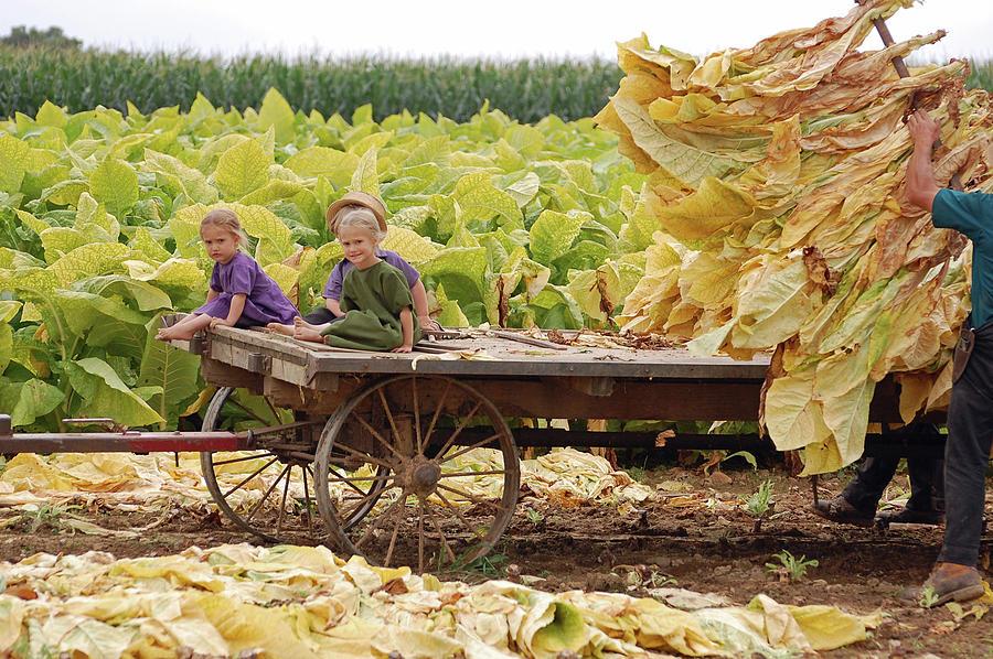 Amish Photograph - Family Tobacco Harvest by Joyce Huhra