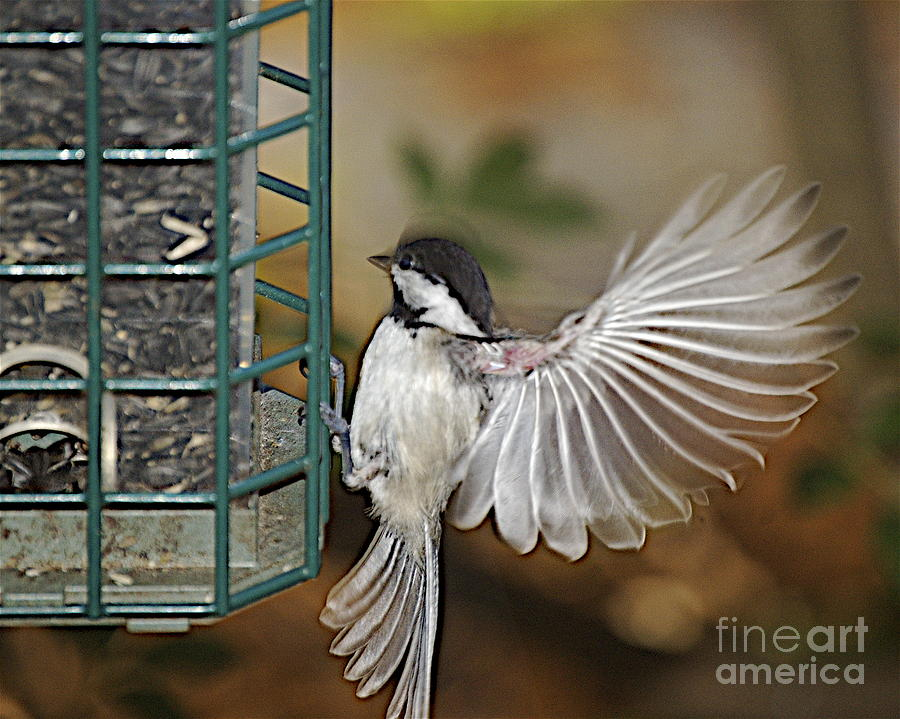 Chickadee In Flight Photograph - Fan Dance by Faith Harron Boudreau