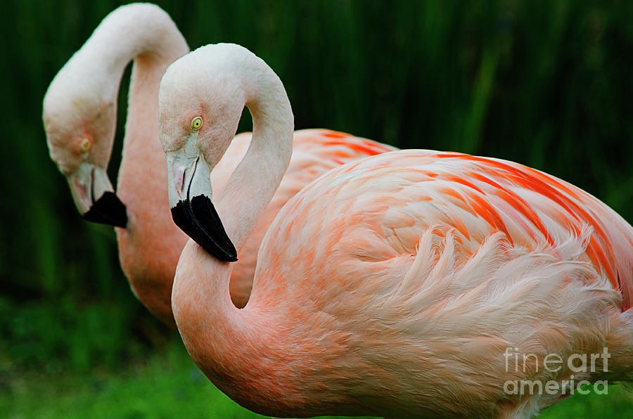Fancy Flamingos by Spade Photo