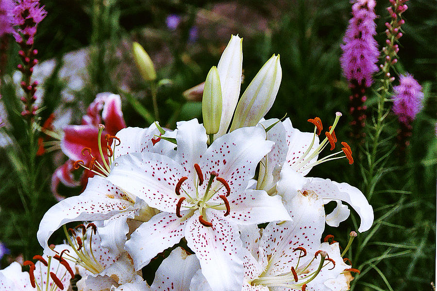 Summer Photograph - Fancy White Lily In Garden by Roger Soule