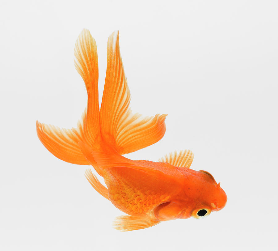 fantail goldfish carassius auratus elevated view photograph by