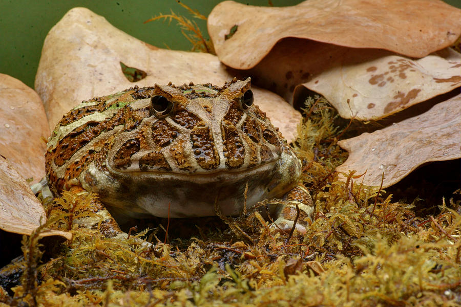 Frogs Photograph - Fantasy - Horned Frog by Nikolyn McDonald