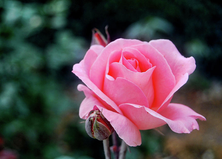 Rose Photograph - Fantin-latour Paris Roses by JAMART Photography