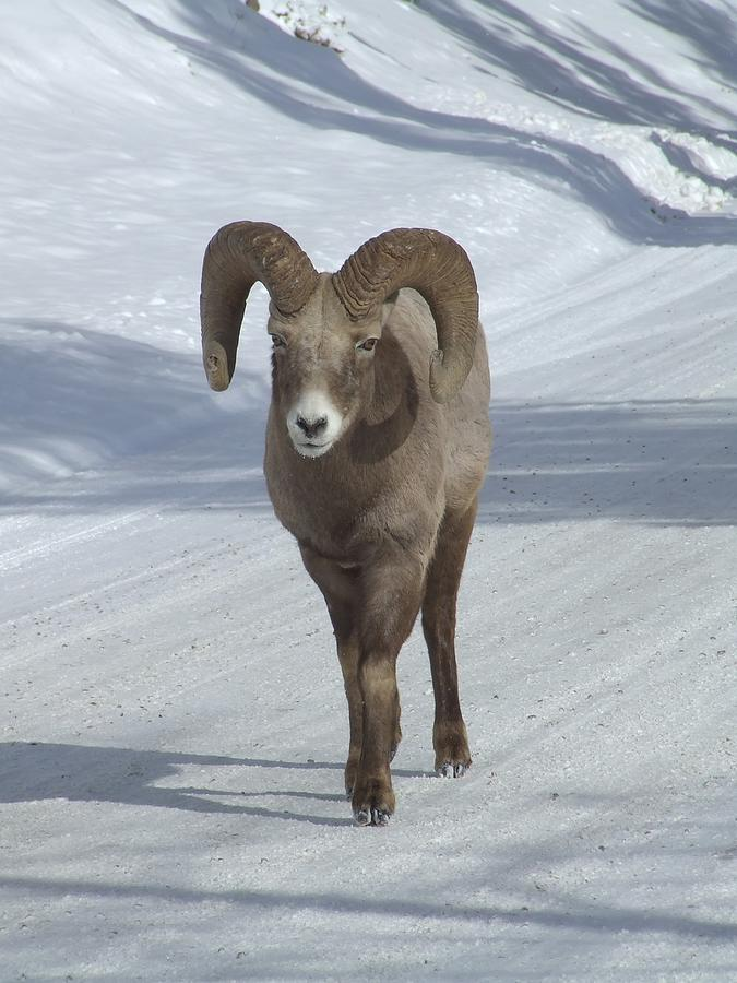 Bighorn Sheep Photograph - Farewell to the King by Tiffany Vest