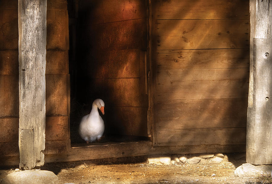 Savad Photograph - Farm - Duck - Welcome To My Home  by Mike Savad