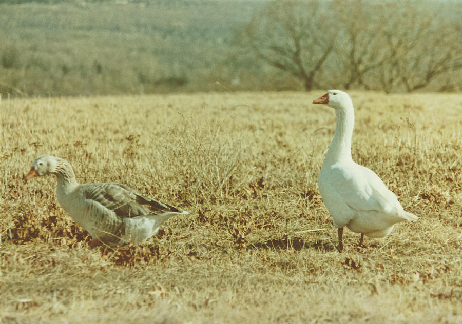 Geese Photograph - Farm Geese by JAMART Photography