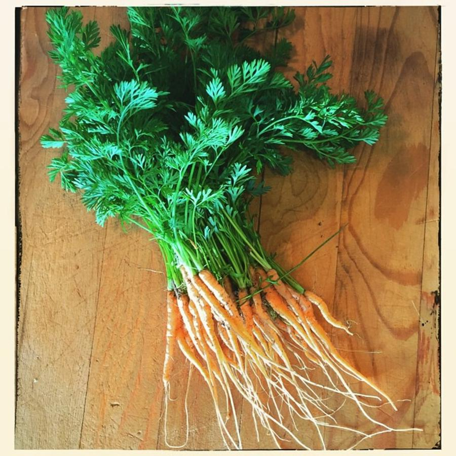 Carrots Photograph - Fresh Carrots by Nancy Ingersoll