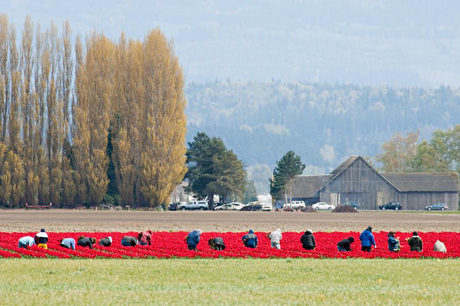 Flower Photograph - Farming Tulips L574 by Yoshiki Nakamura