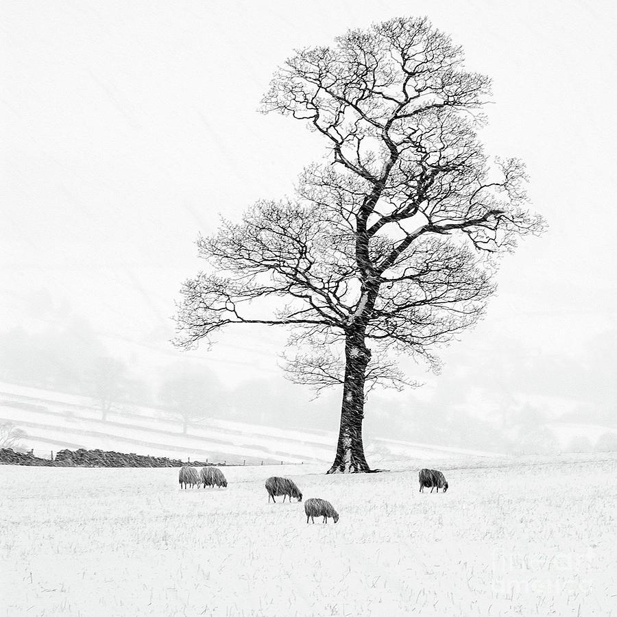 Sheep In Winter Photograph - Farndale Winter by Janet Burdon
