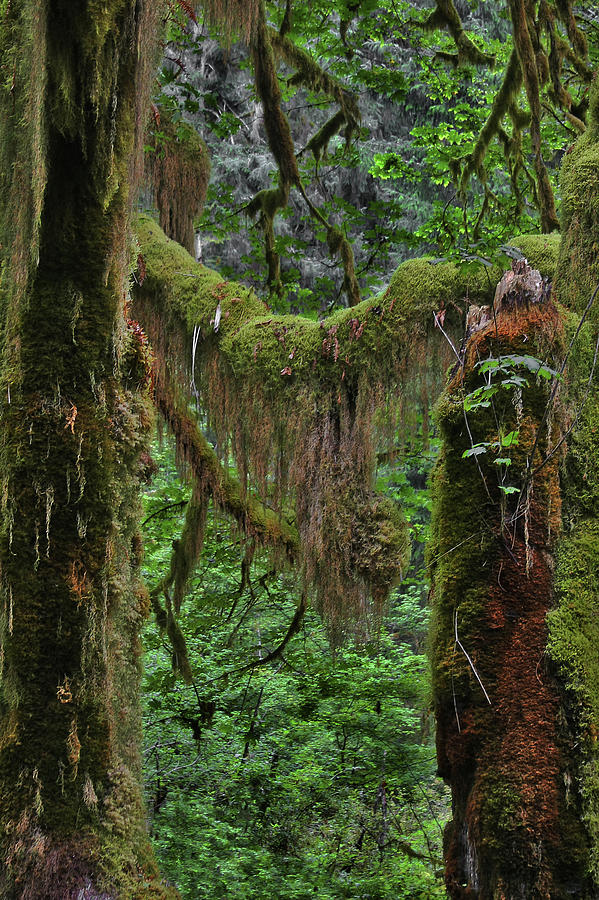 Rainforest Photograph - Fascinating Hoh Valley - Hoh Rain Forest Olympic National Park Onp Wa Usa by Christine Till