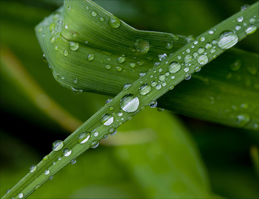 Raindrops Photograph - Fat Raindrops by Robert Ullmann