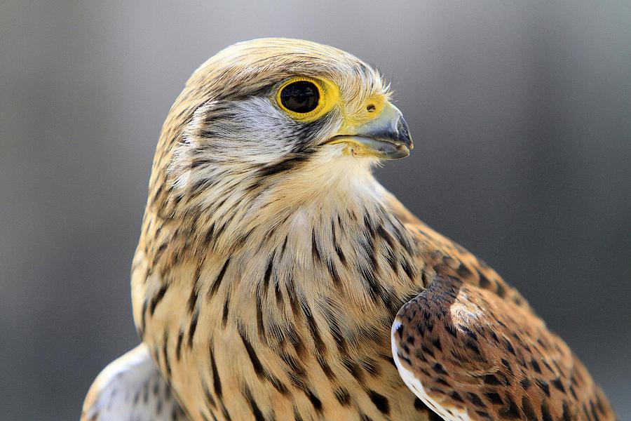 Oiseau Photograph - Faucon Crecelle by Catherine Leblanc