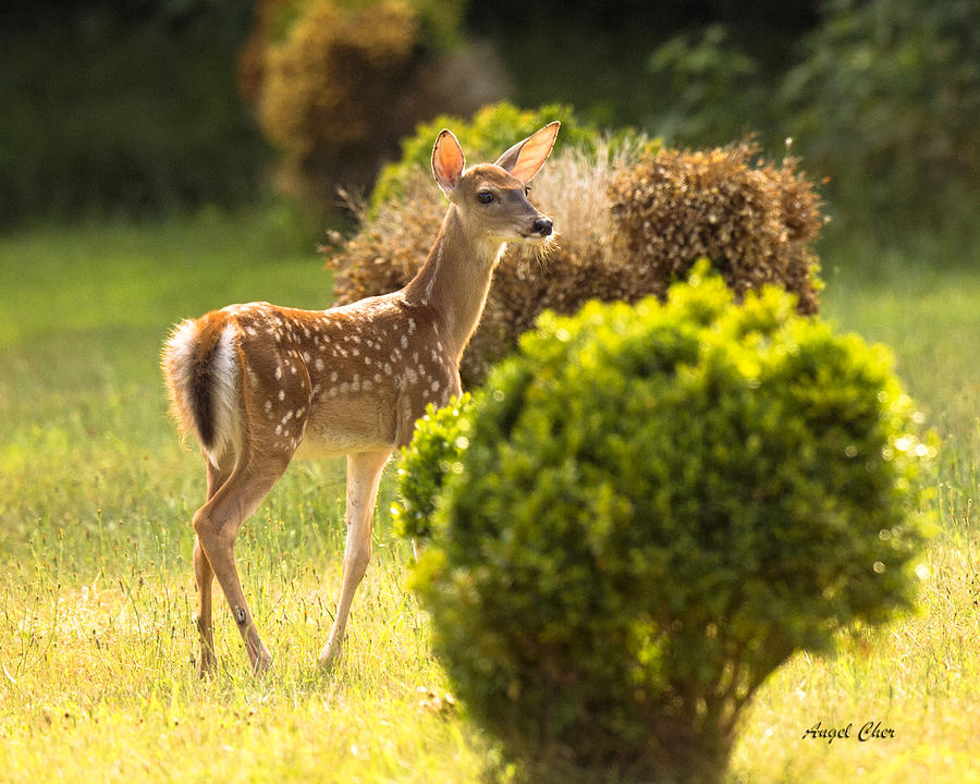 Fawn Photograph - Fawn by Angel Cher