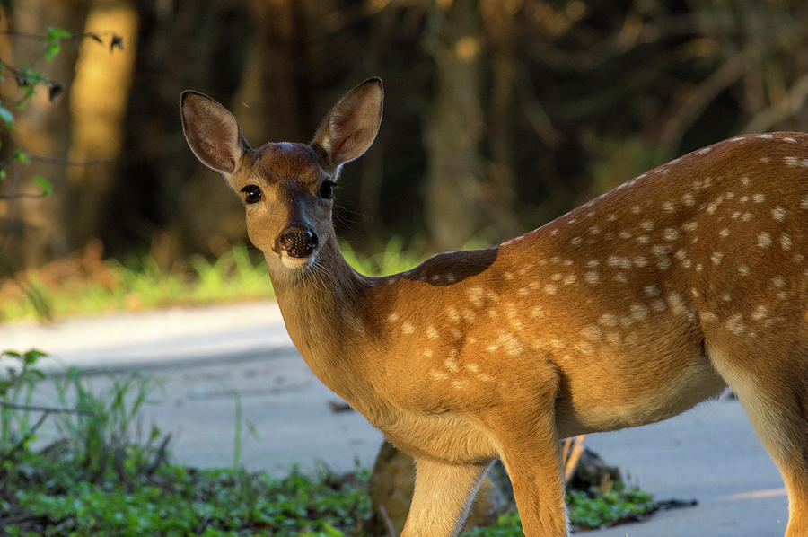 Fawn Photograph - Fawn by Bob Marquis
