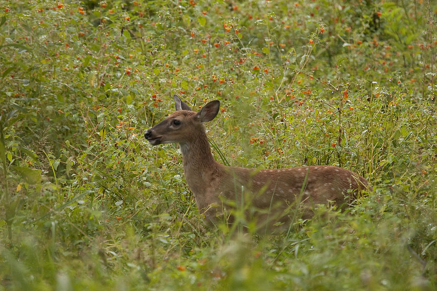 Deer Photograph - Fawn In A Field Of Flowers by Tina B Hamilton