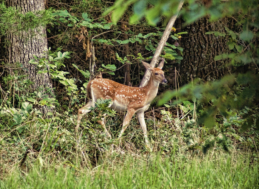 Fawn In The Woods by Rick Friedle