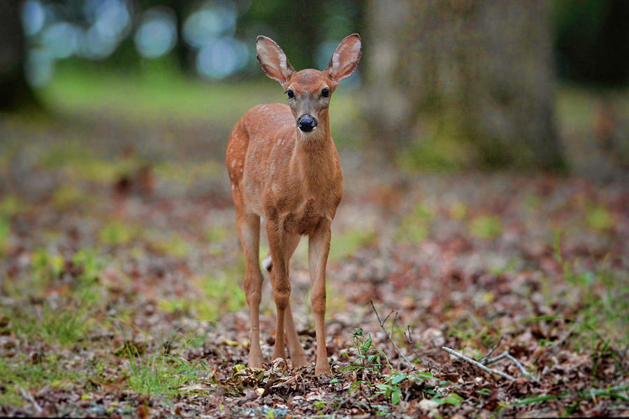 Deer Photograph - Fawn In Woods At Shiloh National Military Park by WildBird Photographs