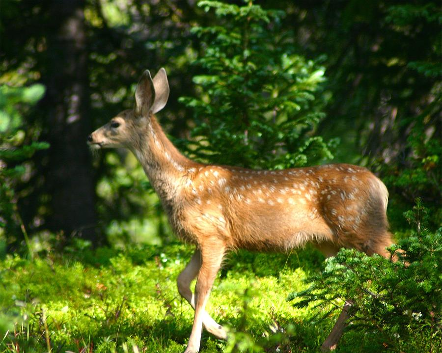 Deer Photograph - Fawn In Woods by Perspective Imagery