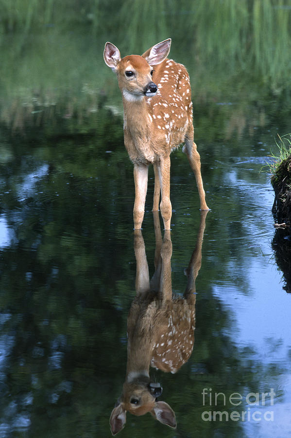 Deer Photograph - Fawn Reflection by Sandra Bronstein