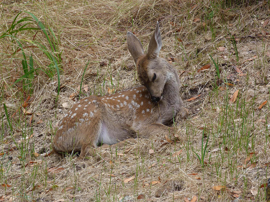Wildlife Photograph - Fawn Resting by Andrea Freeman