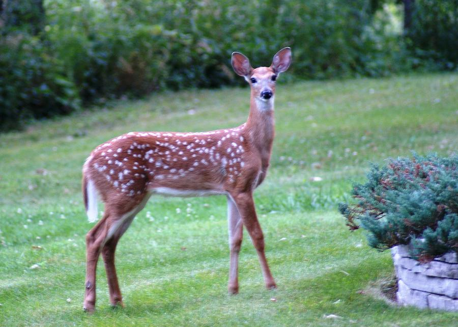 Wildlife Photographs Photograph - Fawn Standing by Geralyn Palmer
