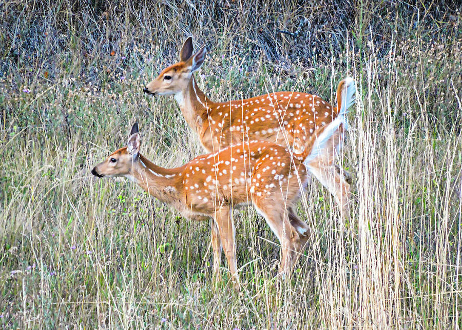 Fawns at Bigfork by L J Oakes