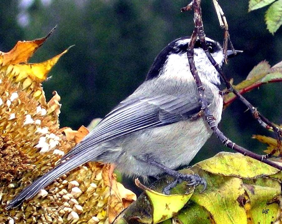 Autumn Photograph - Feast For A Chickadee by Will Borden