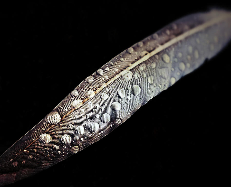 Feather Photograph - Feather dew by Nicklas Gustafsson
