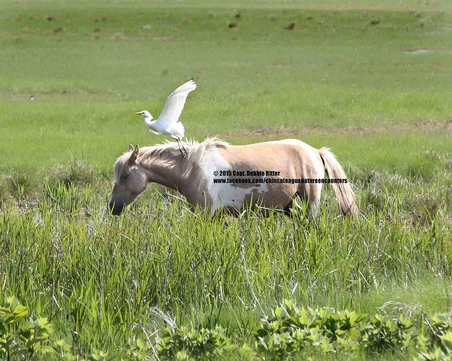 Cattle Egret Photograph - Feathered Friend by Captain Debbie Ritter