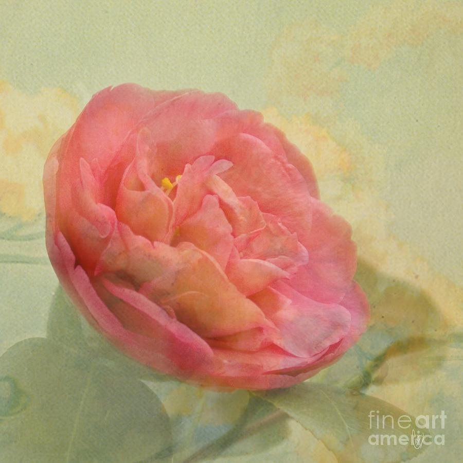 Camellia Photograph - February Camellia by Cindy Garber Iverson