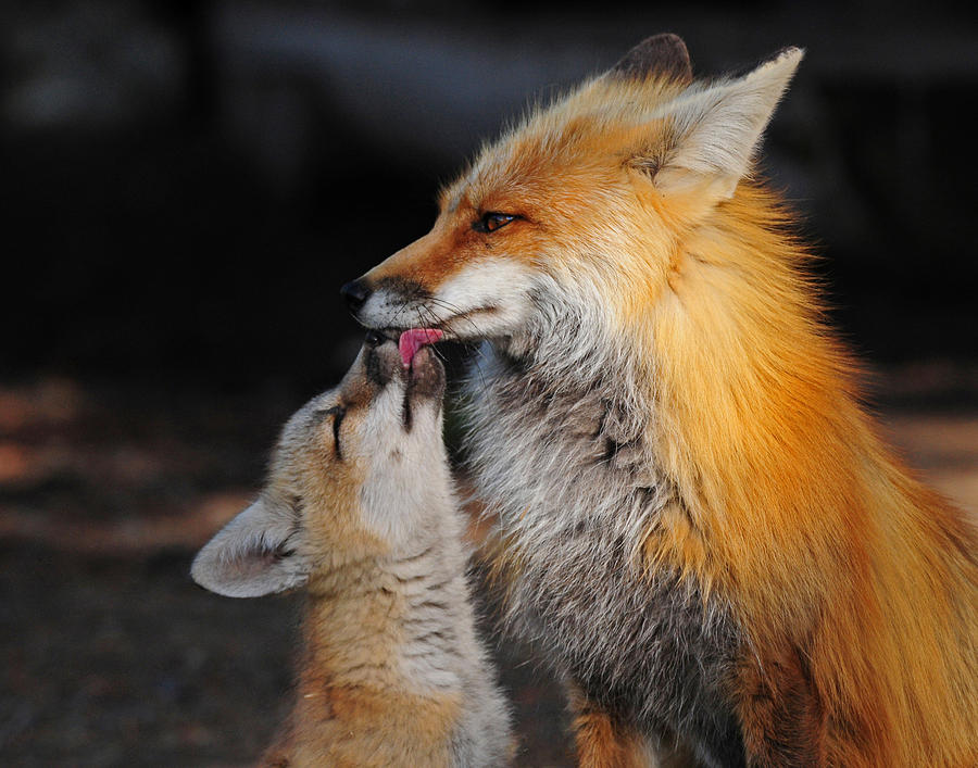 Red Fox Photograph - Feed Me by Sandy Sisti