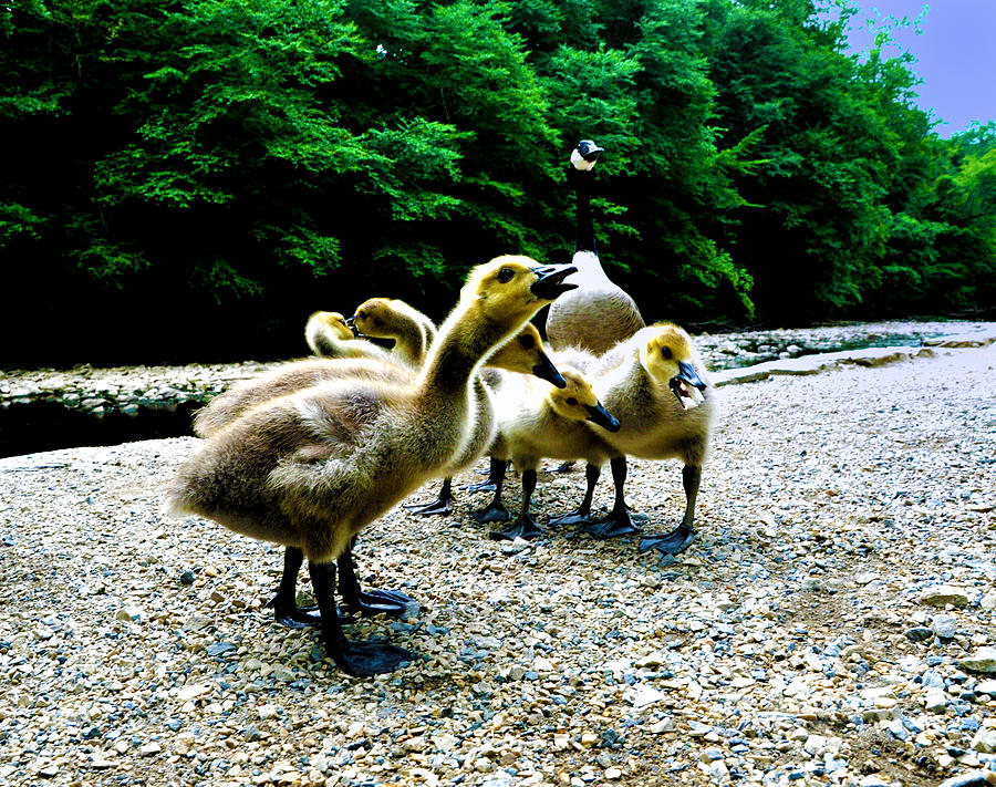 Geese Photograph - Feed Me Seymore - Baby Geese by Bill Cannon